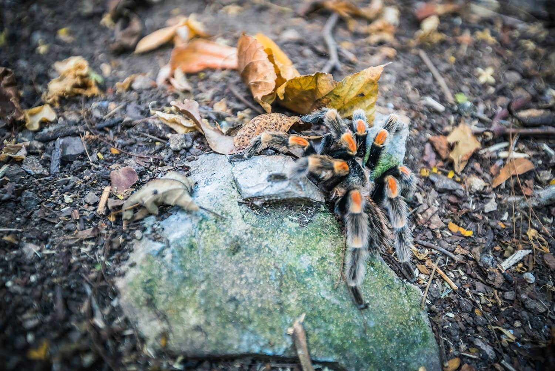 The-Tarantula-for-Presetpro.com